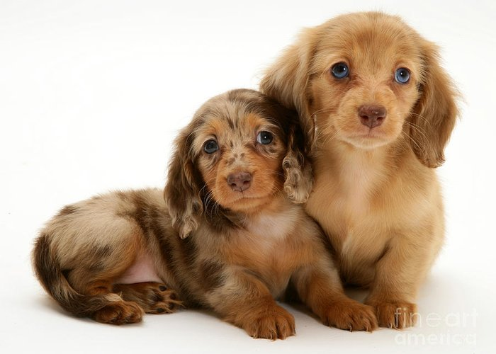 Animal Greeting Card featuring the photograph Dachshund Pups by Jane Burton