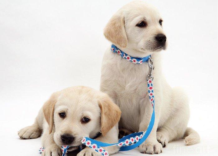 Animal Greeting Card featuring the photograph Goldidor Retriever Puppies by Jane Burton