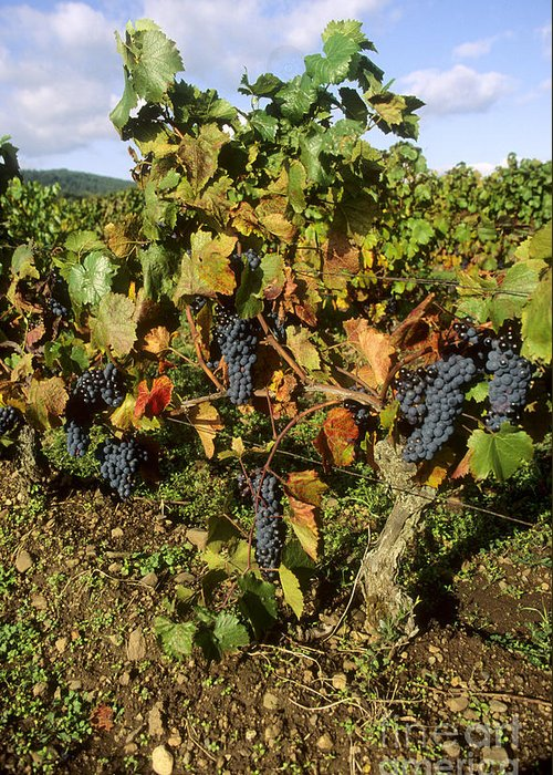 Winegrowing Greeting Card featuring the photograph Grapes Growing On Vine by Bernard Jaubert