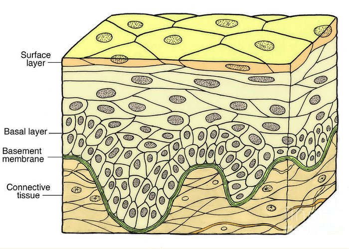Medical Greeting Card featuring the photograph Illustration Of Stratified Squamous by Science Source