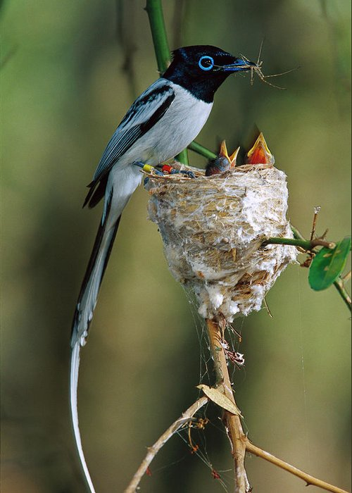 Mp Greeting Card featuring the photograph Madagascar Paradise Flycatcher by Cyril Ruoso