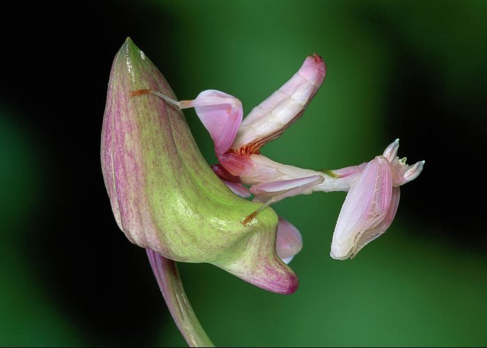 Mp Greeting Card featuring the photograph Orchid Mantis Hymenopus Coronatus by Thomas Marent