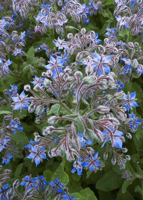 Borage Greeting Card featuring the photograph Borage (borago Officinalis) by Adrian Bicker