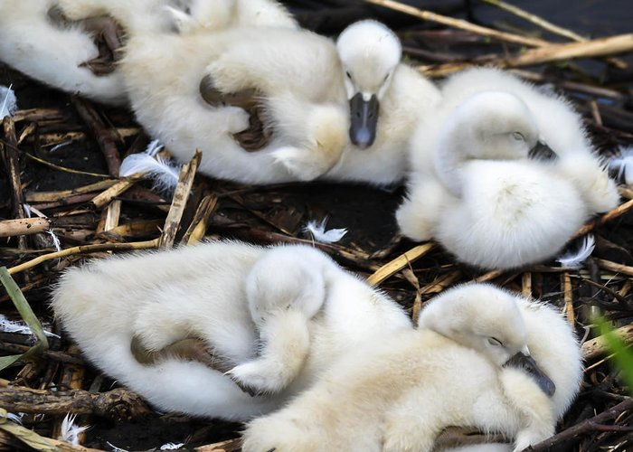 Greeting Card featuring the photograph Cygnets by Brian Stevens
