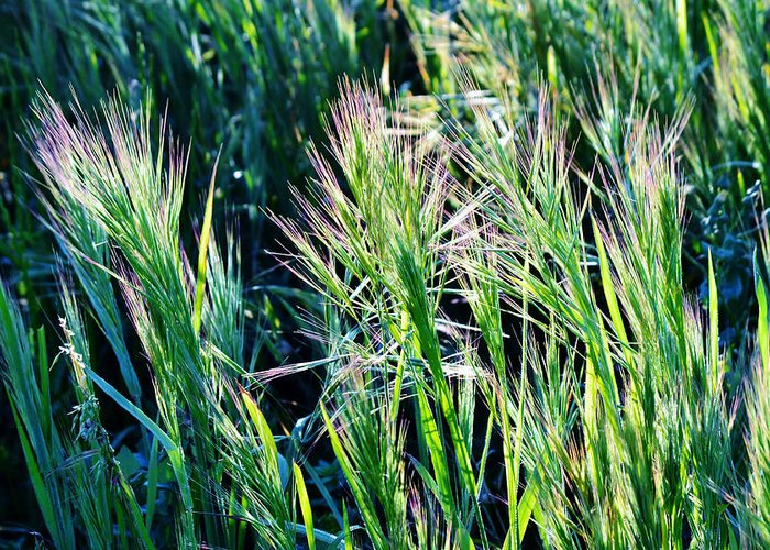 Grass Greeting Card featuring the photograph Grass In Bright Sunlight by Werner Lehmann