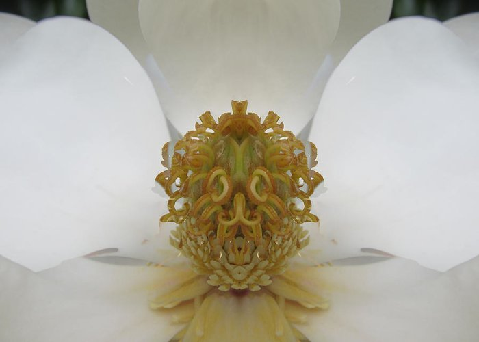 Magnolia Greeting Card featuring the photograph Mystery by Michele Caporaso