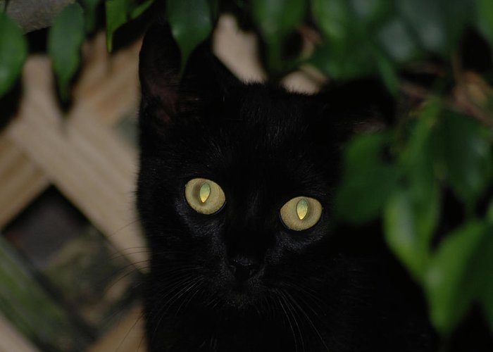 Black Cat Greeting Card featuring the photograph 5- Transfixed by Joseph Keane