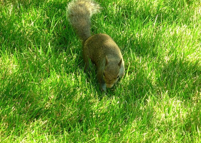 Squirrel Greeting Card featuring the photograph 5371c by Kimberlie Gerner