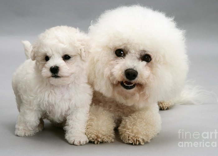 Dog Greeting Card featuring the photograph Bichon Frise by Jane Burton