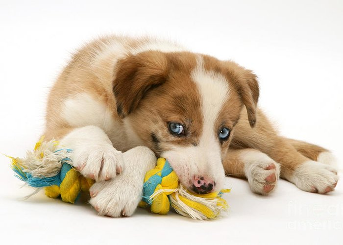 Domestic Greeting Card featuring the photograph Border Collie Puppy by Jane Burton