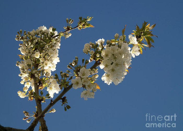 Background Greeting Card featuring the photograph Cherry Blossom by Odon Czintos