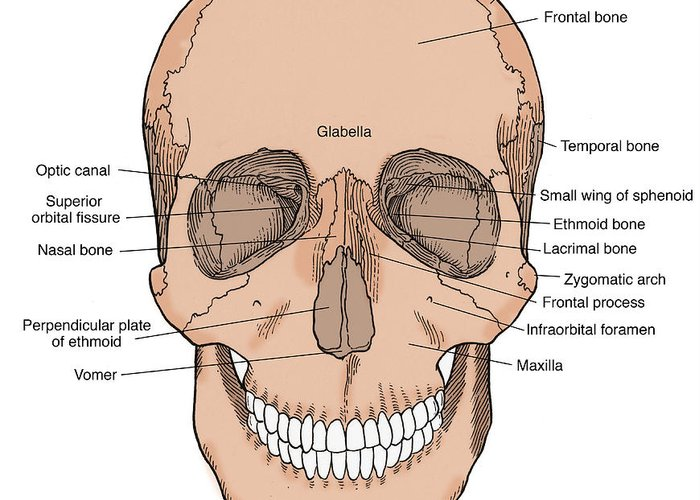 Anatomy Greeting Card featuring the photograph Illustration Of Anterior Skull by Science Source