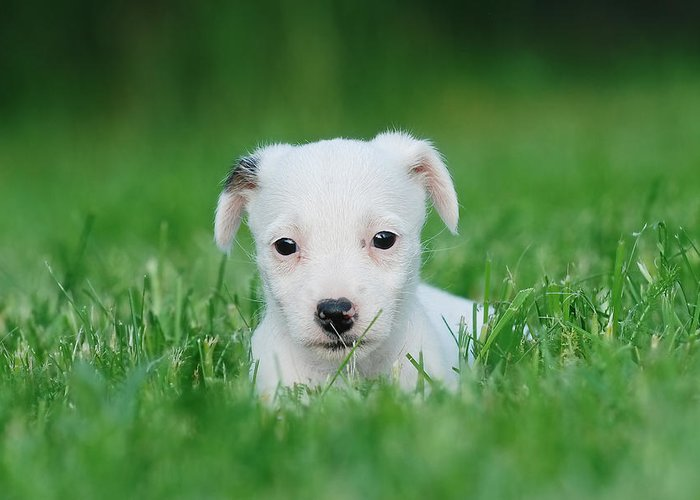 Animal Greeting Card featuring the photograph Jack Russell Terrier Puppy by Waldek Dabrowski