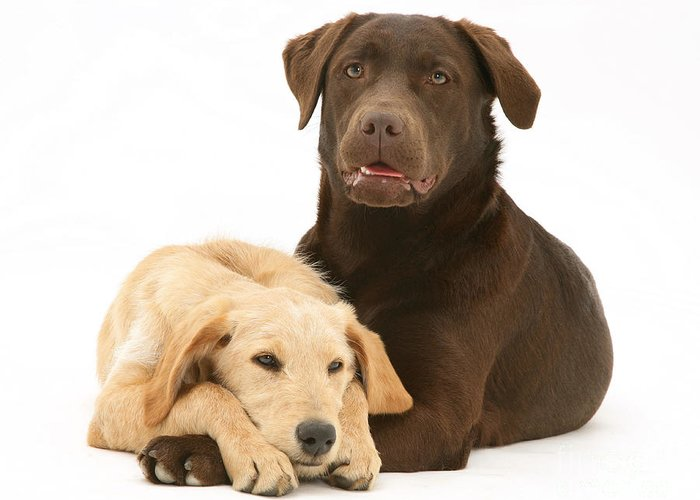 Dog Greeting Card featuring the photograph Labradoodle And Labrador Retriever by Jane Burton