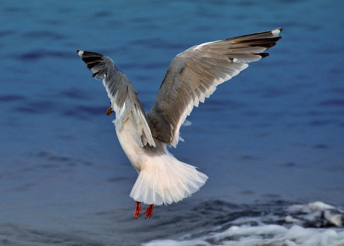 Seagulls Greeting Card featuring the photograph Seagull by Debra Miller