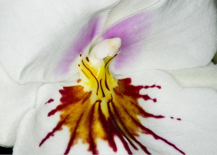 Orchid Greeting Card featuring the photograph Exotic Orchids Of C Ribet by C Ribet