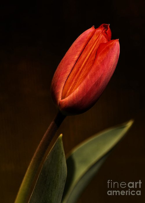 Agriculture Greeting Card featuring the photograph Tulip by Odon Czintos
