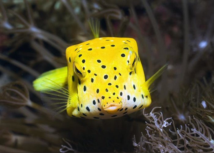 Yellow Boxfish Greeting Card featuring the photograph Yellow Boxfish by Georgette Douwma