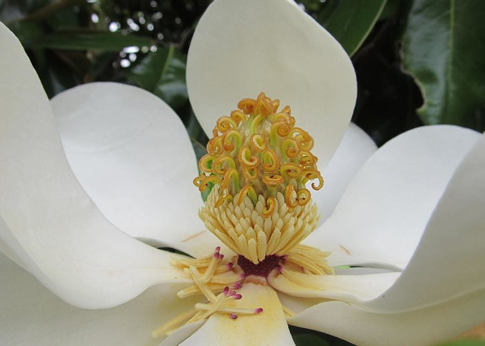 Flowers Greeting Card featuring the photograph Magnolia by Michele Caporaso