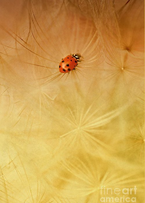 Insect Greeting Card featuring the photograph Dandelions by Iris Greenwell