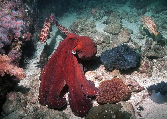 Grouper Greeting Card featuring the photograph Day Octopus by Georgette Douwma