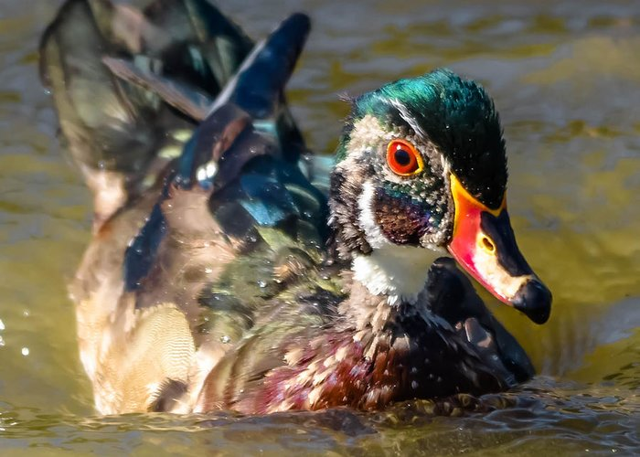 Greeting Card featuring the photograph Wood Duck by Brian Stevens