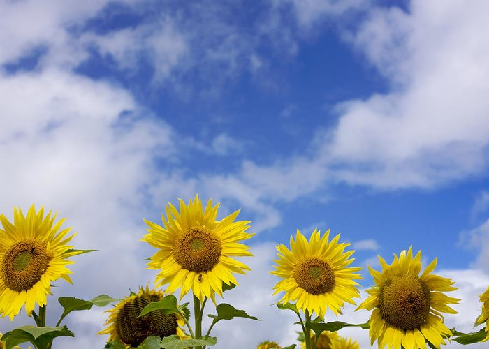 Variety; Varieties; Types; Type; The; Sunflowers; Sunflower; Sun; Species; Sky; Plants; Plant; Outdoor; Of; Nobody; Nature; In; Helianthus; Flowers; Flowering; Flower; Floral; Flora; Fields; Field; Exteriors; Exterior; During; Daytime; Daylight; Day; Compositae; Clouds; Cloud; Breeds; Breed; Botany; Blossoms; Blossoming; Blossom; Blooms; Blooming; Bloom; Asteraceae; Annuus; Alsters; Alster Greeting Card featuring the photograph Field Of Sunflowers by Bernard Jaubert