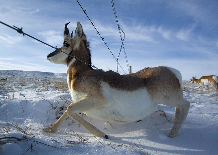 Outdoors Greeting Card featuring the photograph A Barbed Wire Fence Is An Obstacle by Joel Sartore