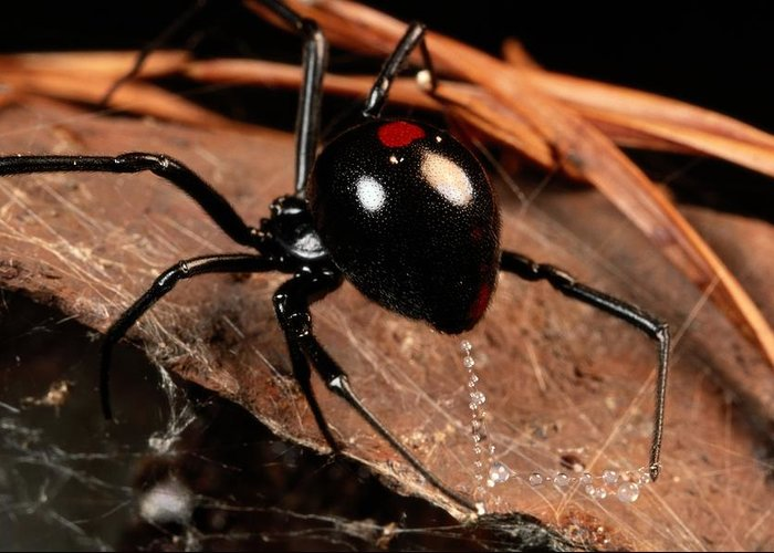 black Widow Spiders Greeting Card featuring the photograph A Black Widow Spider Latrodectus by George Grall