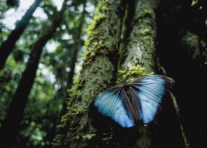 South America Greeting Card featuring the photograph A Blue Morpho Butterfly by Joel Sartore