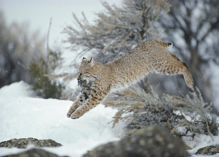 North America Greeting Card featuring the photograph A Bobcat Leaps With A Horned Lark by Michael S. Quinton