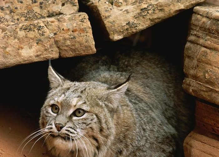 Animals Greeting Card featuring the photograph A Bobcat Pokes Out From Its Alcove by Norbert Rosing