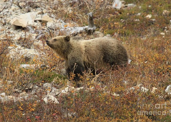 Grizzly Bear Greeting Card featuring the photograph A Breath Of Fresh Air by Adam Jewell
