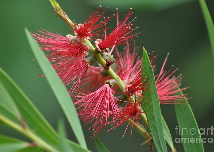 Bottle Brush Greeting Card featuring the photograph A Brush With Beauty by Joanne Kocwin