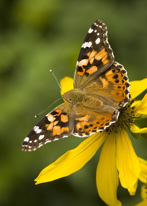 Jemez Mountains Greeting Card featuring the photograph A Butterfly Sits Atop A Yellow by Ralph Lee Hopkins