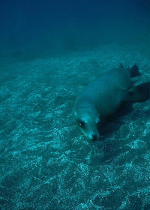 North America Greeting Card featuring the photograph A California Sea Lion Swims Close by Heather Perry