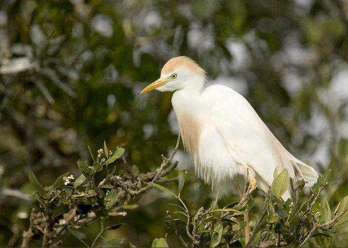 Bird Rookeries Greeting Card featuring the photograph A Cattle Egret Bubulcus Ibis by Tim Laman