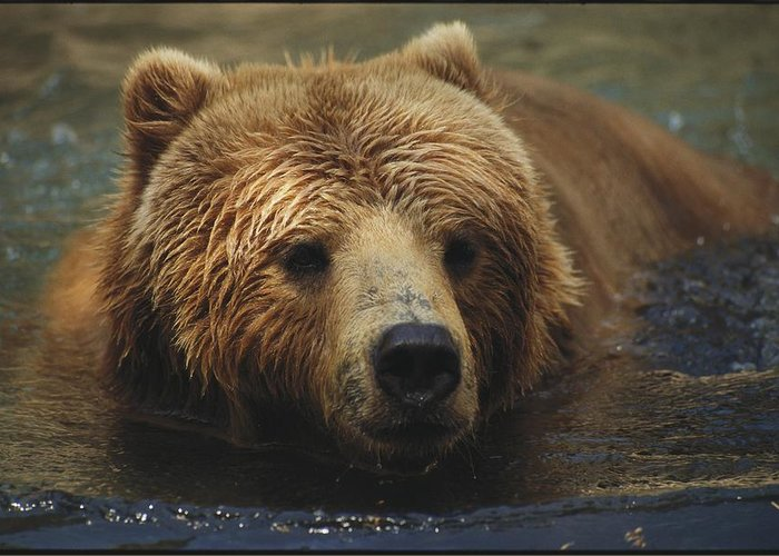 North America Greeting Card featuring the photograph A Close View Of A Captive Kodiak Bear by Tim Laman