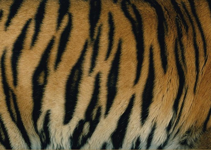 A Close View Of The Patterned Skin Of A Captive Bengal Tiger Greeting Card featuring the photograph A Close View Of The Patterned Skin by Michael Nichols