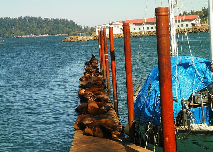 Sea Lions Greeting Card featuring the photograph A Dock Of Sea Lions by Jeff Swan