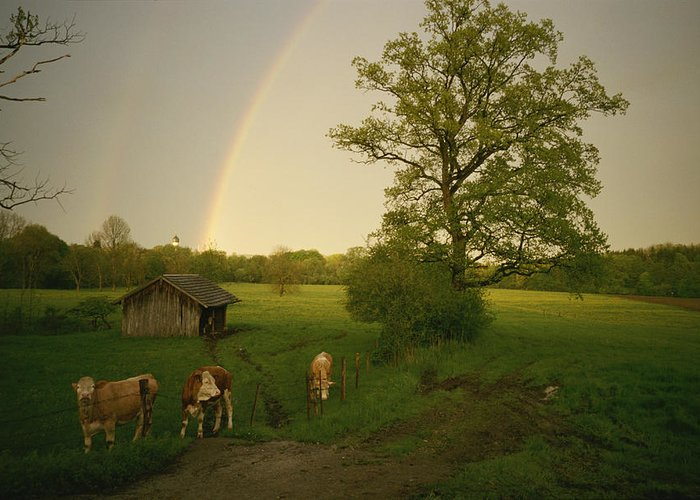 A Double Rainbow Arcs Over A Field With Cattle. Greeting Card featuring the photograph A Double Rainbow Arcs Over A Field by Carsten Peter