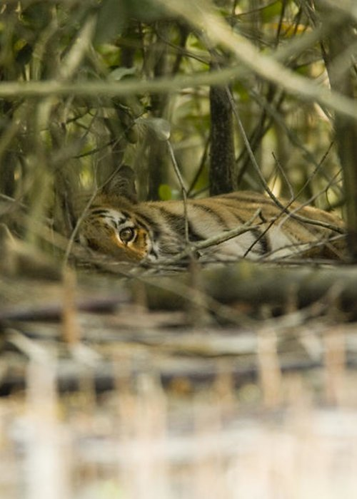 Day Greeting Card featuring the photograph A Female Tiger Rests In The Undergrowth by Tim Laman