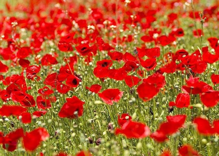 Europe Greeting Card featuring the photograph A Field Of Poppies by Richard Nowitz