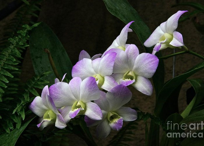Orchids Greeting Card featuring the photograph A Flight Of Orchids by Byron Varvarigos