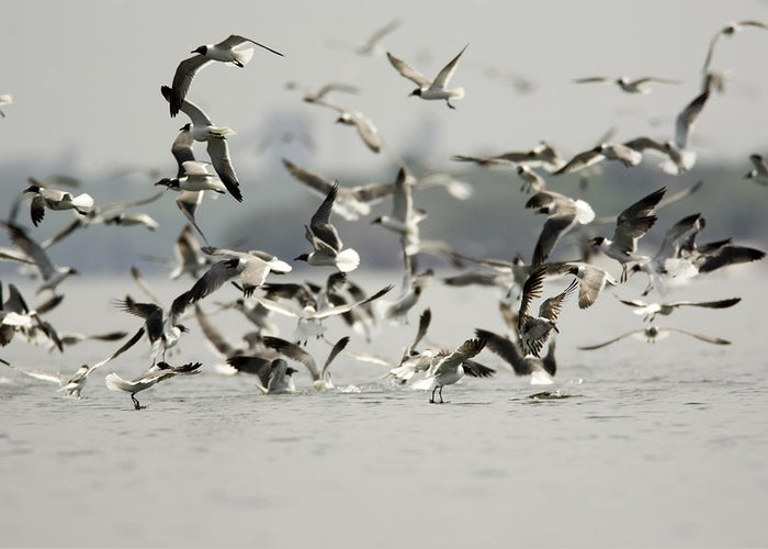 Flocks Of Birds Greeting Card featuring the photograph A Flock Of Laughing Gulls Larus by Tim Laman