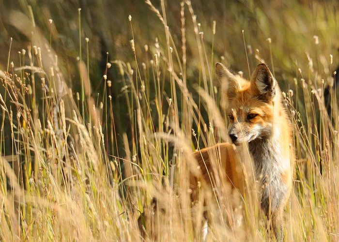 Red Fox Greeting Card featuring the photograph A Fox In A Field by Amy Gerber
