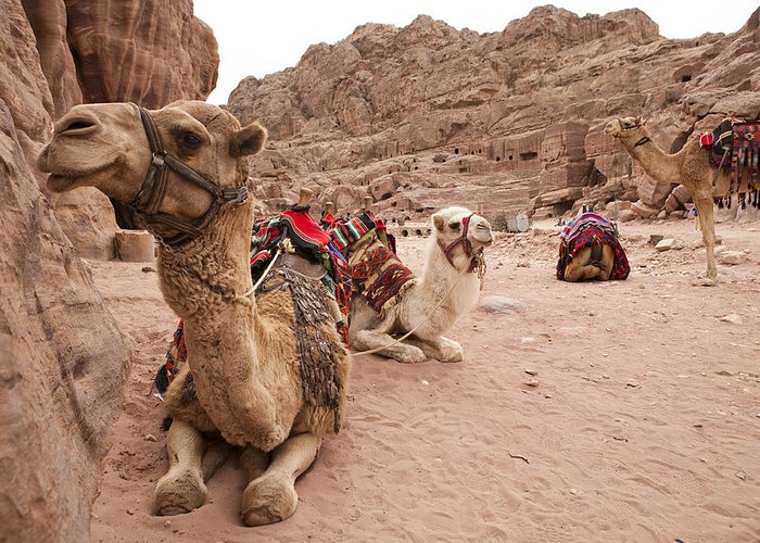 Petra Greeting Card featuring the photograph A Group Of Camels Sit Patiently by Taylor S. Kennedy