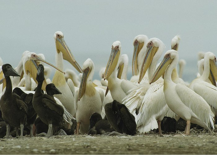 Pelecanus Onocrotalus Greeting Card featuring the photograph A Group Of Eastern White Pelicans by Klaus Nigge