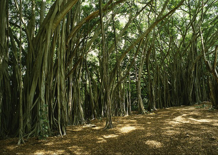 Plants Greeting Card featuring the photograph A Grove Of Banyan Trees Send Airborn by Paul Damien