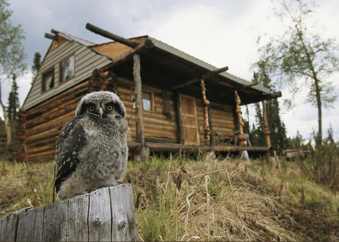 Subject Greeting Card featuring the photograph A Hawk Owl Sits On A Stump Near A Log by Michael S. Quinton